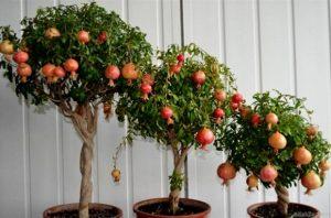 выращивание домашнего граната