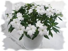 белый комнатный бальзамин