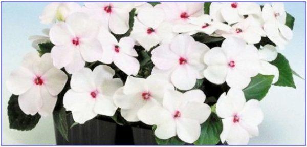 нежный бальзамин с белыми цветами