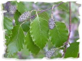листья березы в уходе за волосами
