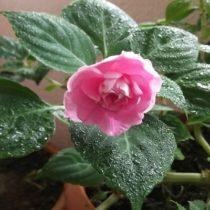 цветущий комнатный бальзамин