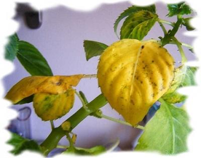 желтеют листья у бальзамина