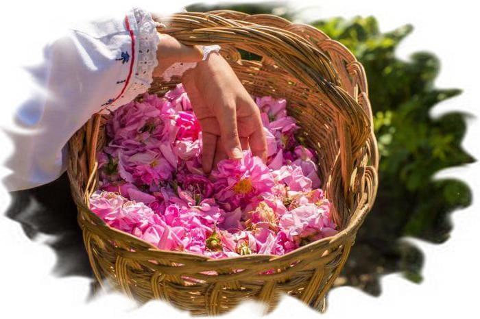 заготовка роз для гидролата